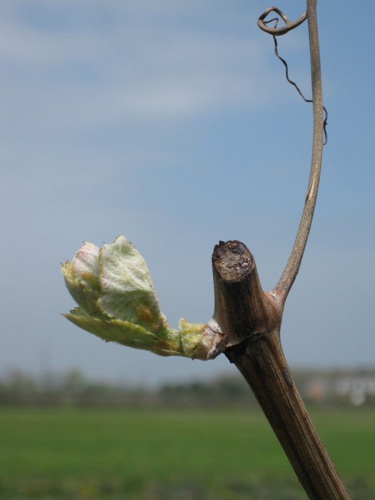 Fragile Buds